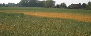 Teile der Felder sind schon gelb. Das Getreide wächst nur sehr langsam.