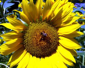 Eine Biene auf einer Sonnenblume