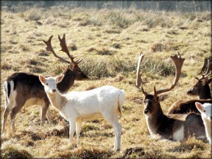 Seit eh und je gehören im Wildgehege weiße Hirsche dazu