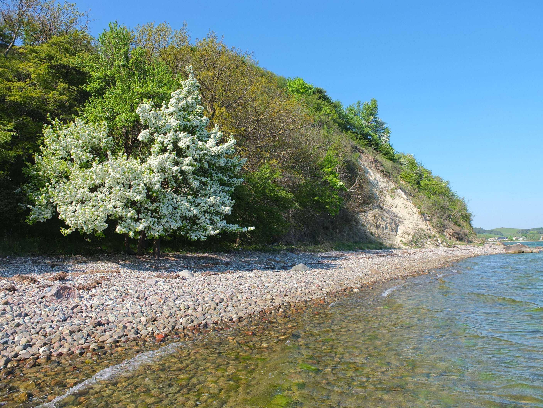 Blühende Wildbirne am Strand
