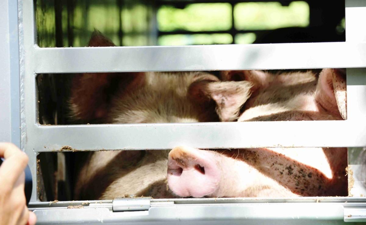 Hier fährt Dein Schnitzel. Gebraten! Bei dieser Hitze sind Tiertransporte in Deutschland verboten!